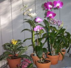This is an orchid. Orchids have often been thought of as a symbol of love. you can water them every 7 days or so. In winter don't feed it, it is frozen and will not need it. Only do this if it's cold enough. Orchids are usually killed by regular soil the need soil with good aeration and drainage.