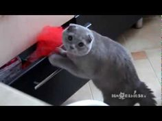 Cat caught in the act! omg the look on his face at the end as he slowly pushes the drawer closed, dying!