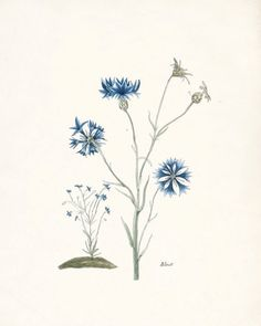 antique french flower - blue natural history botanicals