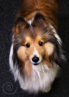 Sheltie asking a question.. Know this look too well!