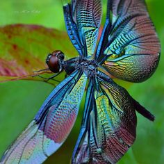 黑丽翅蜻 中文名:黑丽翅蜻 拉丁名:Rhyothemis fuliginosa 命名人及年代:Selys, 1883