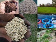 Validated and Potential Medicinal Rice Formulations for Diabetes (Madhumeha) and Cancer Complications and Revitalization of Kidney (TH Group-166) from Pankaj Oudhia's Medicinal Plant Database