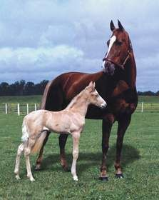 Tennessee Walking Horse....my horse Tucker looked like this as a baby!