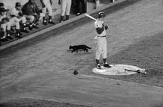 A black cat crosses the path of Chicago Cubs player Ron Santo as he waits his turn at bat in a crucial game against the New York Mets The Cubs went. Cubs Players, Groucho Marx, Inspirational Blogs, New York Mets, Coincidences, Chicago Cubs, In This Moment, Black, Crosses