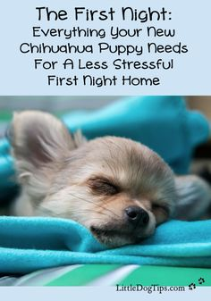 Need-To-Know Tips For Your First Night With Your Chihuahua Puppy - Little Dog Tips