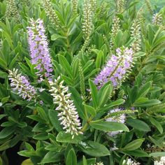 Hebe Wiri image - an evergreen shrub that produces small purple flowers in the summer