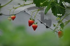 Strawberry picking-Tomoya Farm-Take expressway and exit at #3 Kitanakagusuku.Instead of turning right to go to Foster, turn left S. on RT 29 Drive about 4 km. You will pass 2 gas stations on your right along the way. The 1st one is ENEOS and the 2nd one is Carenex. Right after you past Carenex, the 2nd building on your left is Tomoya Farm. Parking is right as you enter. season should start in Nov-May. for reservation Phone:  090 1946 1247. 30min all you can eat-A¥1300 C7-12¥800 C3-6¥500 <3…