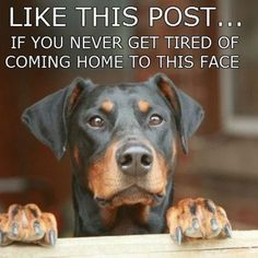 #Doberman - more natural eared Dobies Please! Re-pinned from Forever Friends Fine Stationery & Favors http://foreverfriends.carlsoncraft.com