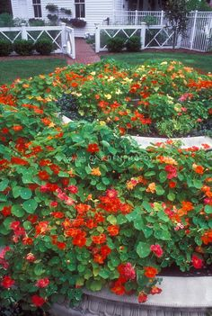 Nasturtiums.  Love them--and they're edible.  It gets too hot in Texas to grow them beyond June, but if you have afternoon shade, it's worth the try.
