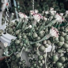 Natalie Linda (@itsnatalielinda) • Instagram photos and videos How To Water Succulents, Planting Succulents, Lilac Bushes, Cottage Exterior, String Of Pearls, Hanging Baskets, Gardening Tips, Planters, Instagram