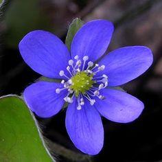 Resultados de la Búsqueda de imágenes de Google de http://flores.florpedia.com/images/fotos-flores-azules-pq.jpg