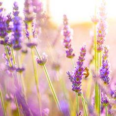 Lavender: The Secret Life of Lavender