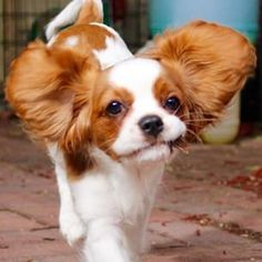 Ellie, Mum can I fly with these things !?  (Cavalier King Charles Spaniel)