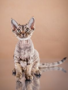 Learn all about the Devon Rex cat breed, including common pet insurance health claims!
