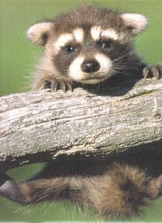 Add baby raccoon to the list of animals I want Baby Racoon, Cute Raccoon, Raccoon Art, Cute Wild Animals, Animals And Pets, Newborn Animals, Cute Baby Pictures, Animal Pictures, Funny Good Morning Images