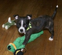 Found the perfect dog for our family. Or me. how do i convince hubby? lol Boston Huahua hybrid puppy (Boston Terrier and Chihuahua)