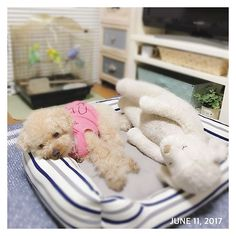 #福 #愛犬 #犬 #プードル #トイプードル #タイニープードル #dog #poodle #toypoodle #大切な家族 #最愛の息子 #愛おしい #大好き #幸せ #目に入れても痛くない #ワンコなしでは生きていけません会 #ふわもこ部 #ママミング #適当