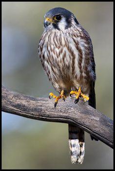Raptor Center, American Kestrel, Photography Workshops, Birds Of Prey, Bald Eagle, Owl, Creatures, Female, Animals