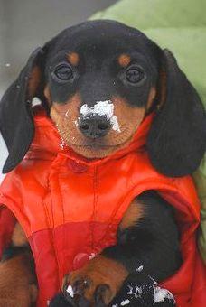 #Snow #nose. #Dachshund #puppy