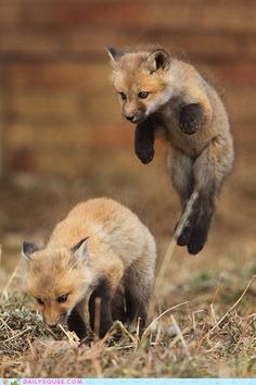 Baby foxes.
