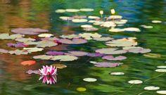 lilies on pond | 3802678666_9b14740ea0_z.jpg
