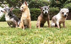 4 Elderly Chihuahua Dogs - Security Team