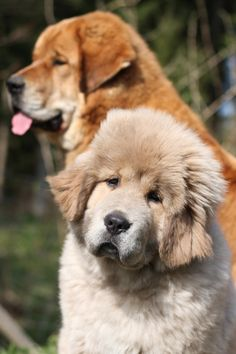 Tibetan Mastiff Dogs.  I will have this dog when I'm older