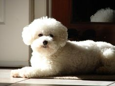 Bichon watchdog....  Looks like my dog.  She is so loud many people have heard her bark and left.