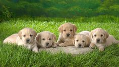 Adorable Labrador Retriever Puppies. For more cute puppies, check out our youtube channel: https://www.youtube.com/channel/UCH7efODYtEdnWfAm1eS4NMA