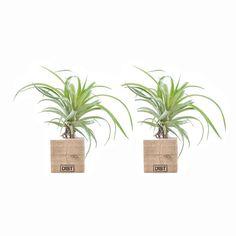 Green Lifestyle Store Kamerplant Tillandsia Airplant Zwart - Set van 2 - afbeelding 1
