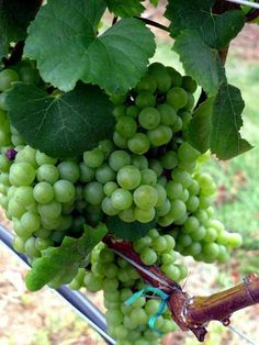 White wine grapes cluster on Long Island's North Fork, where vineyards and farmstands are plenty.
