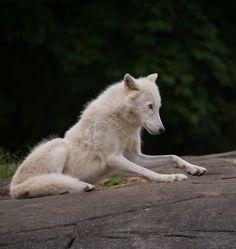 An Arctic Wolf by © Daniel Parent