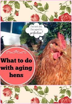 What to do with aging hens. Hen's peak egg laying years end around their second birthday - what happens to them after that? Best Egg Laying Chickens, Laying Hens, Keeping Chickens, Raising Chickens, Backyard Poultry, Backyard Farming, Chickens Backyard, Chicken Incubator, Urban Chickens