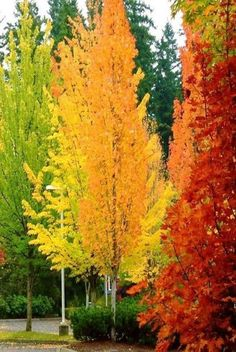 Really want multi coloured trees in the garden now I'v eseen these! - Fall Colors | Autumn Orange Red Trees