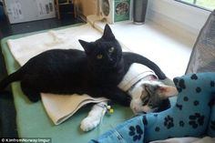 Black cat Rademenes helps to nurse sick cats and dogs back to health at a Polish animal sh...