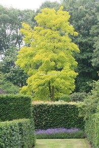 Robinia pseudo-acacia 'Frisia'_thumbnail