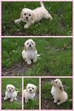 Cavachon - cutest puppy in the world!