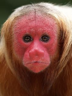 2. Bal Uakari: 'The shocking red pate of this South American monkey makes it one of the pin-ups of the animal world.' Read more in 100 Bizarre Animals www.bradtguides.com