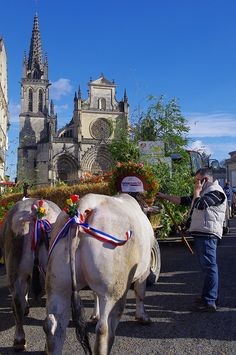 The cattle in Gironde, Aquitaine, France