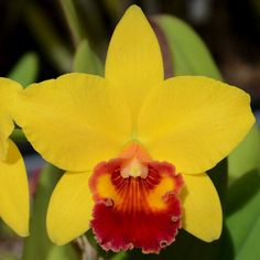 Sunset Valley Orchids - Pot. Little Toshie 'Gold Country' AM