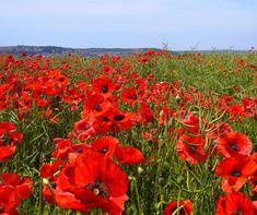 Red poppy field, wowee!