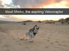Chihuahua, Siberian Husky, Great Dane, Dogo Argentino, Puppy, Cat, Pet: Meet Meiko, the aspirning Velociraptor #chihuahua #siberianhusky