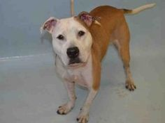 GONE   Buttermilk 03/21/17 They named me Buttermilk..I am Gone..my life was taken 3/21/17 by NYC ACC #NoKillShelter #SaveLivesAdopt #StopEuthanasia