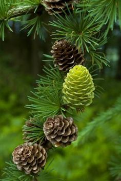 Larch Cones-the only decidous conifer-it turns golden and drops its needles in the fall much like a maple does