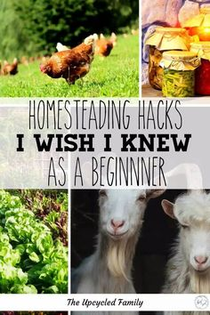Wanting to start a homestead? After 8 years of homesteading what I would do differently than when we first started a homesteading lifestyle. #startingahomestead #homesteadingforbeginners #modernhomesteading #selfreliant #homeasteadlifestyle Gardening For Beginners, Gardening Tips, Homestead Property, Modern Homesteading, Old Fashioned Recipes, Grow Your Own Food, Raising Chickens, Natural Life, Fruit Trees