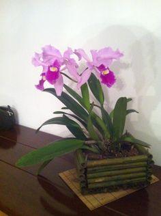 Cattleya mendelli