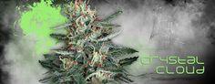 cannabis seeds marijuana seeds weed seeds pot seeds