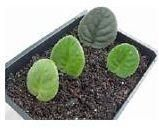 propagation of african violets