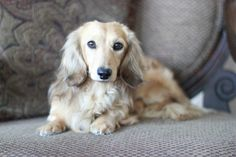 We fell in love with English Cream long-haired miniature dachshunds and our… Dachshund Funny, Dachshund Breed, Long Haired Dachshund, Mini Dachshund, Daschund, I Love Dogs, Cute Dogs, English Cream Dachshund, Best Apartment Dogs