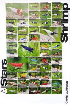 All Stars Shrimp Poster